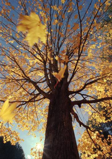Golden leaves fall from a Maple tree in Dalton, N.H., on Tuesday, Oct. 19, 1999. As Fall foliage season in northern New Hampshire retreats, colder than normal temperatures have arrived in the region.(AP Photo/Jon-Pierre Lasseigne)
